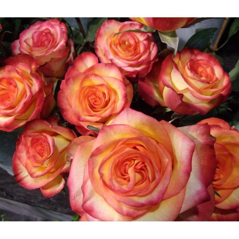 Livraison de fleurs reims rose orange extra high magic for Livraison rose
