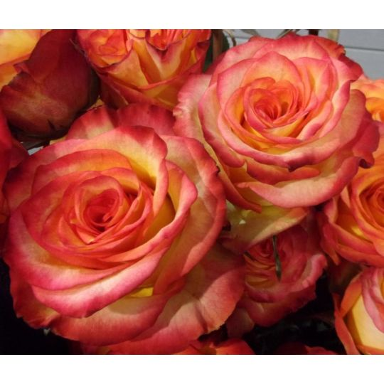 Rose orange extra HIGH MAGIC
