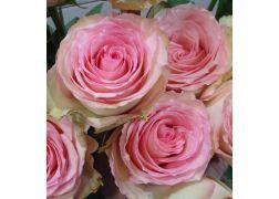 Rose rose extra ESPERANCE