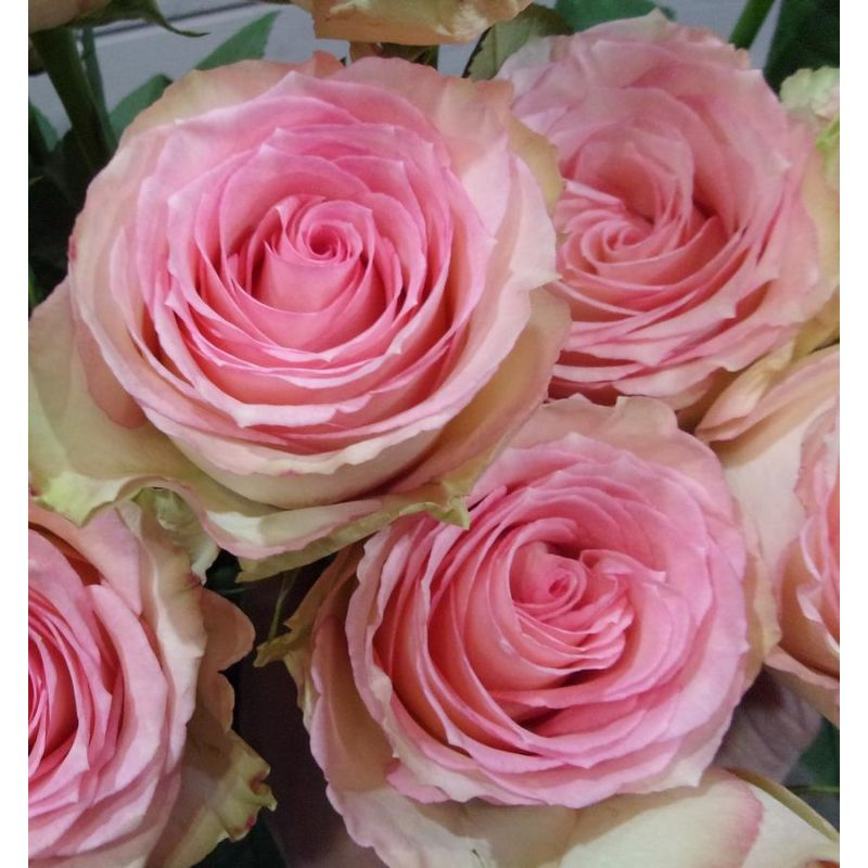 Livraison de fleurs reims rose rose extra esperance for Rose livraison