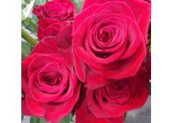 Rose rouge extra FREEDOM