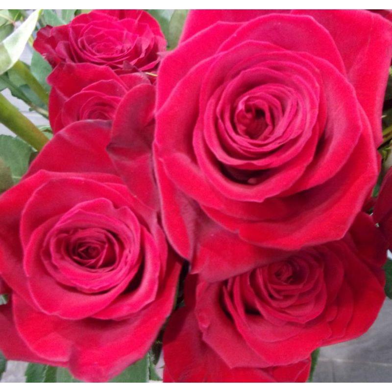 Livraison de fleurs reims rose rouge extra freedom for Livraison rose