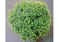 Chrysanthème jaune spécial TOUSSAINT