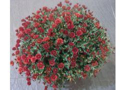 Chrysanthème rouge spécial TOUSSAINT