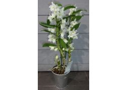 Orchidée dendrobium blanche