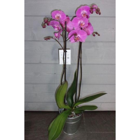 Orchidée phalaenopsis mauve