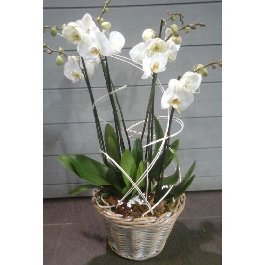 Orchidée phalaenopsis 4 branches blanches